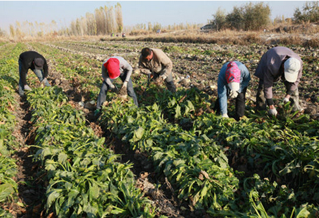 冷空气入侵 新疆近2000亩甜菜收获受阻